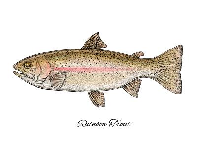 Rainbow Trout mixed media fishing fish apparel print design fauna animals nature art trout rainbow trout