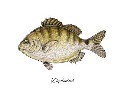 Diplodus illustration artwork art mixed media natural nature fauna underwater fishing sea fish diplodus