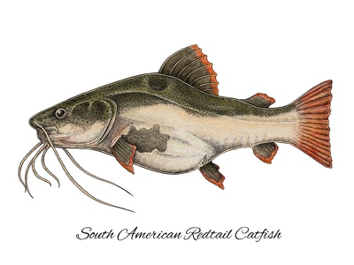 South American Redtail Catfish science colorful digital mixed media scientific illustration artwork art catfish fishing fish south american redtail catfish