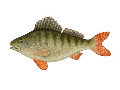 Perch realistic fauna animal illustration fish digital art digital painting art perch
