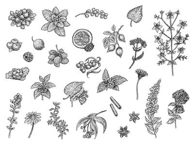 Tea Collection ink drawing illustration menu cafe drink cup fruits berries herbal herbs tea