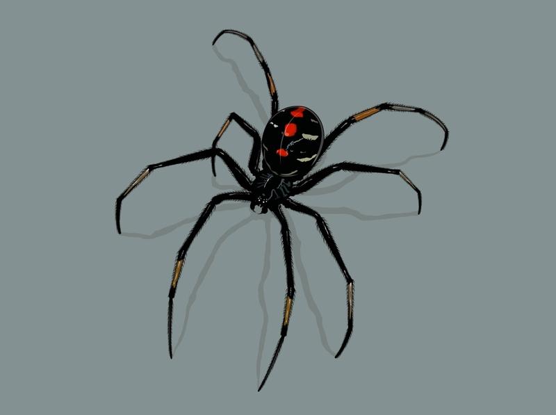 Black Widow animal web poison poisonous spider black widow