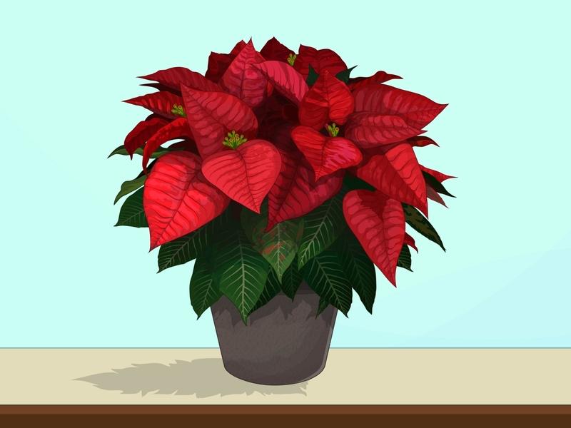 Euphoria pulcherrima ilustración colores diciembre natividad flor de noche buena pulcherrima