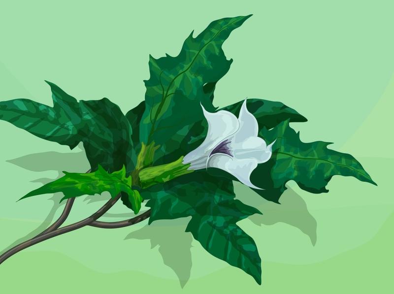 Datura stramonium digital illustration drawing didactic illustration flower vector krotalon digital ink illustration nature plant illustration plant stramonium stramonium datura