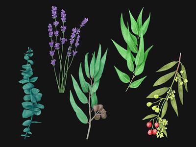 Lavender and Various Eucalyptus Species nature digital art illustration landscape watercolor commission flower plant botanical botany