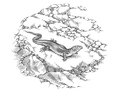 Lizard for the wine label engraved woodcut package food label hand drawing pen and ink etching vector engraving engraving