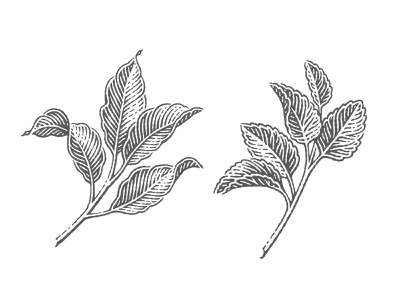 Lemon and peppermint leaves lemon peppermint leaf illustration engraved woodcut label hand drawing pen and ink etching vector engraving engraving