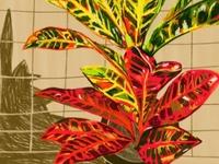 Croton sketch