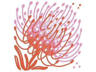 Pincushion Protea jordan kay pink orange floral pincushion pincushion protea illustration plant flower illustration flower protea