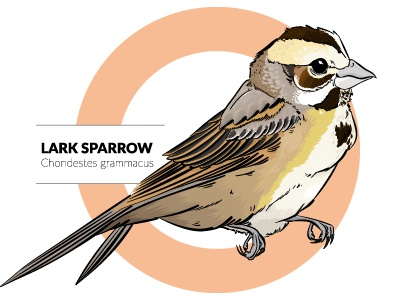Lark Sparrow illustrator birds