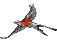 Scissortail Drawing
