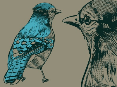 Bluejay birb feathers procreate ipad pro illustration 2d sketch drawing animal bird bluejay