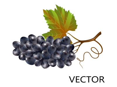 Bunch of blue grapes in 3d style isolated on white background vector art bunch vine health fruit delicious diet wine purple nutrition closeup 3d grapes dessert grape natural sweet blue grapes isolated wine grapes