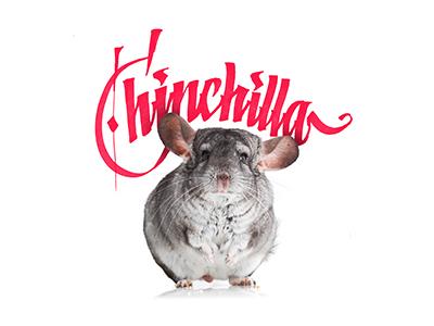 Chinchilla     chinchilla lettering calligraphy