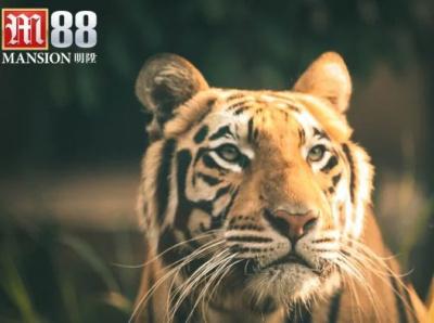 giai dap mo thay ho danh con gi trong lo de 696x392 mơ thấy hổ đánh con gì mơ thấy con hổ m88