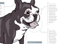 Boston Terrier Anatomy