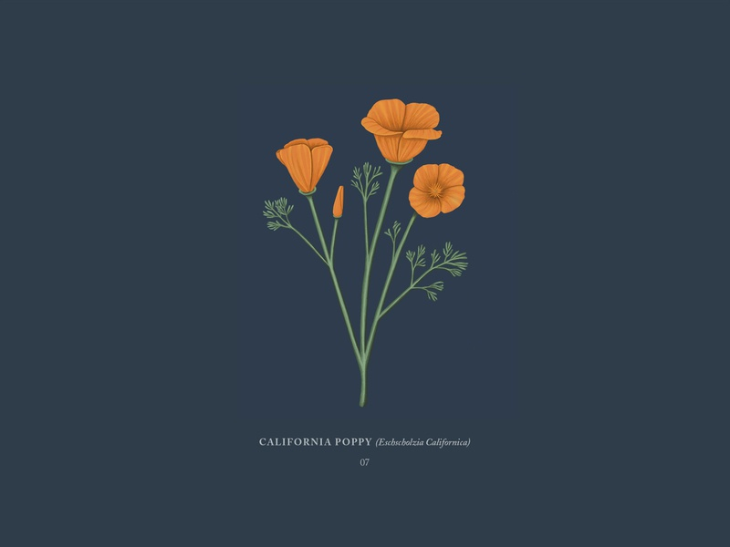 California Poppy orange flowers flower poppies poppy california drawing botanical procreateapp ipadpro illustration