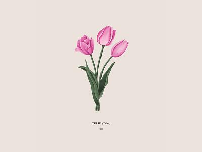 Tulip pink floral flower botanical drawing procreateapp ipadpro illustration tulips tulip