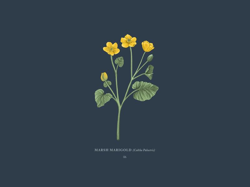 Marsh Marigold faroe islands digital drawing drawing buttercup marigold marsh marigold yellow flower botanical travel procreateapp ipadpro illustration