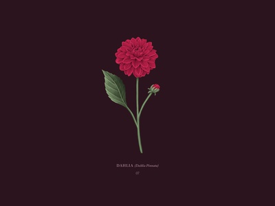 Dahlia pink procreateapp ipadpro digital illustration illustration drawing botanicals botanical dahlias flowers flower dahlia