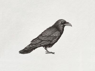 Raven stippling stipple pointillism pencil ink drawing black illustration bird raven