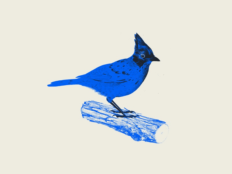 Blue Jay halftone illustration sketch doodle procreate quarantine doodle quarantine bird blue jays
