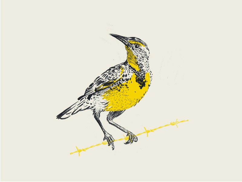 meadowlark sketch meadowlark bird illustration bird illustration