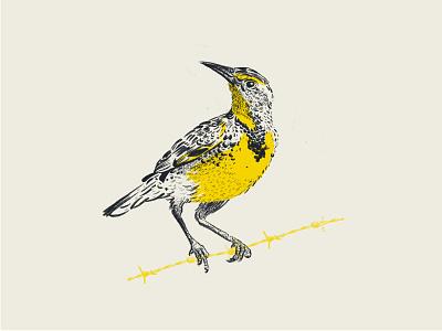 meadowlark sketch meadowlark bird illustration bird illustration