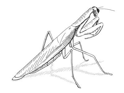 Day 11 – Praying Mantis animal hatching realistic mantis praying drawing illustration 30daychallenge