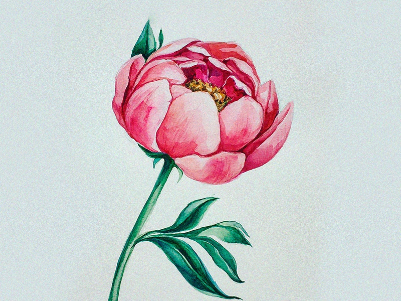 Peony painting picture image peony botany botanicalillustration illustrations illustration drawing watercolor botanypainting botanicalpainting flawerart flower flowers artwork art