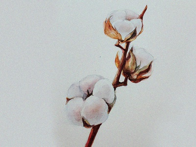 Cotton image picture painting cotton botany botanicalillustration illustrations illustration drawing watercolor botanypainting botanicalpainting flawerart flower flowers artwork art