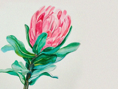 Protea picture painting image protea botany botanicalillustration illustrations illustration drawing watercolor botanypainting botanicalpainting flawerart flower flowers artwork art