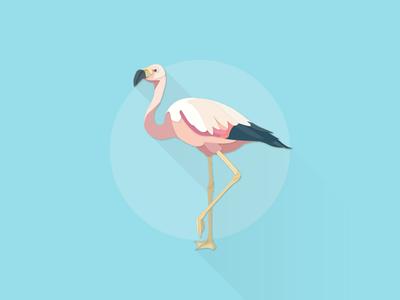 Andean Flamingo works illustrator