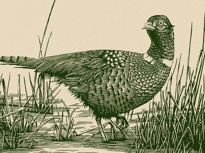 Pheasant black and white pen and ink hunting birds bird wildlife nature outdoors pheasant engraving scratchboard illustration