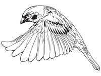 Sparrow Tattoo design