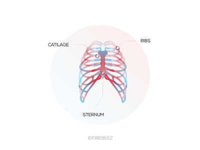 Rib Cage Medical Illustration