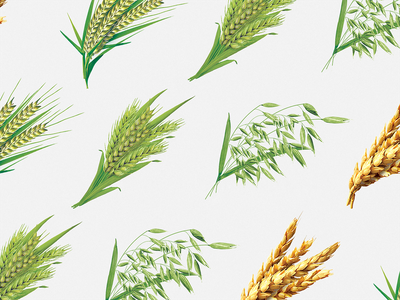 Wheat for packaging grain corn crops ripen heads droop art branding illustration packaging package pack design graphic design wheat