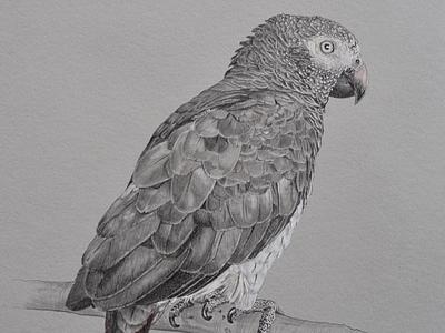 African Gray Commission analog art bird pencil graphite wildlife