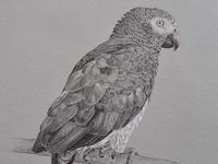 African Gray Commission
