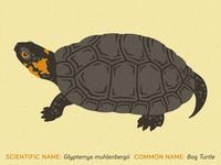 Bog Turtle Illustration
