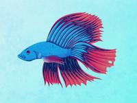 Siamese fighting fish vector illustrator wildlife ocean sea underwater fish fishes aquarium illustration