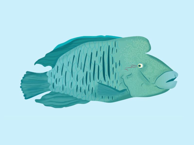 Napoleon Fish aquarium mare sea ocean green napoleon colour vector nature fish