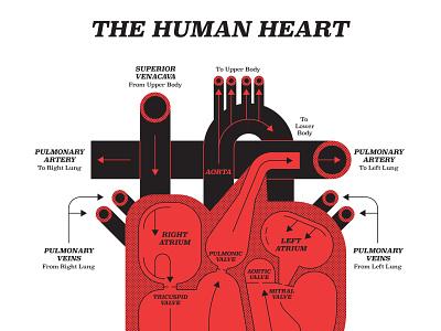 Heart john devolle monochrome heart anatomy medical infographic graphic vector folioart digital illustration