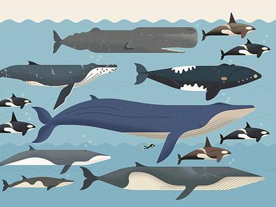 Antarctic Whales owen davey nature ocean infographic wildlife editorial folioart digital illustration