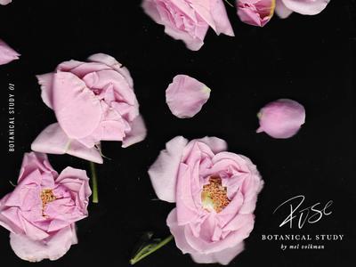 Botanical Study 01 | Rose