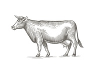 Cow illustration in engraving style.