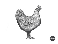 Chicken illustration in engraving style