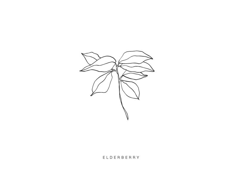 Elderberry elderberry plant botanical illustration