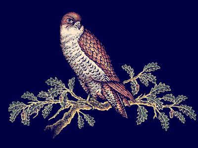 Hawk Illustration linocut pen and ink line art engraving artist scratchboard woodcut