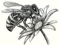 Honey Bee woodcut illustration etching illustration pen and ink woodcut scratchboard steven noble